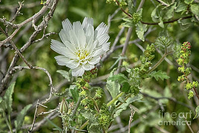Photograph - Desert Chicory   Rafinesquia Neomexicana by Anne Rodkin