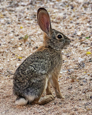 Photograph - Desert Cottontail 1822 by Mark Myhaver