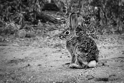 Mark Myhaver Photo Rights Managed Images - Desert Cottontail bw Royalty-Free Image by Mark Myhaver