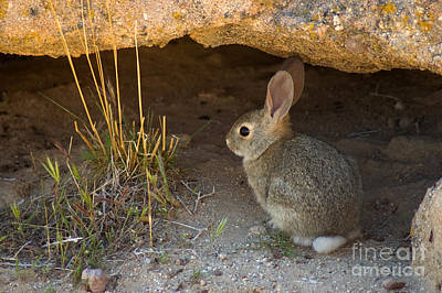 Photograph - Desert Cottontail by Dan Suzio