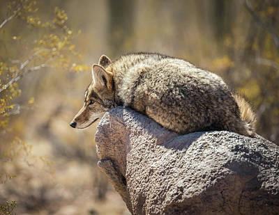 Photograph - Desert Coyote-img_355218 by Rosemary Woods-Desert Rose Images