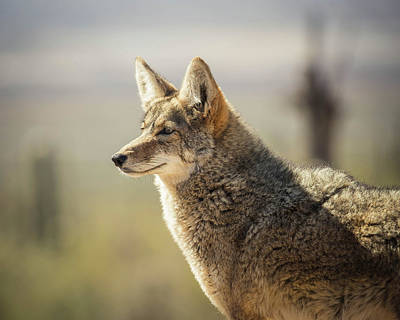Photograph - Desert Coyote-img_359018 by Rosemary Woods-Desert Rose Images
