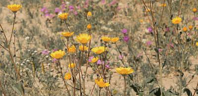 Photograph - Desert Daisy by Michael Hope