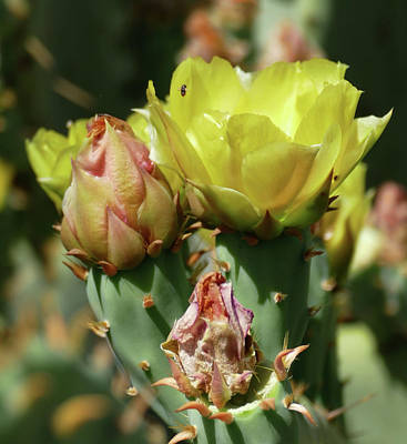 Photograph - Desert Flower by Laurel Powell