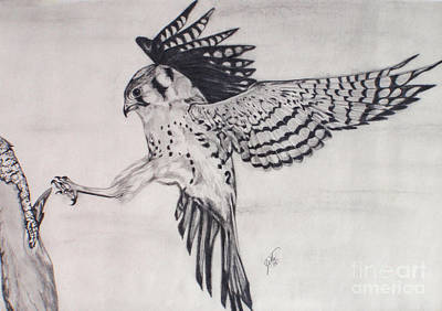 Drawing - Falcon I by Suzette Kallen