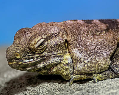 Photograph - Desert Iguana H1800 by Mark Myhaver