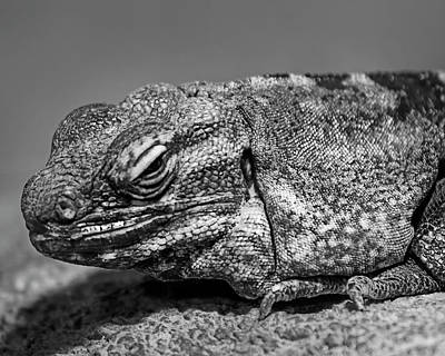 Photograph - Desert Iguana H1801 by Mark Myhaver