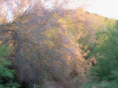 Desert Ironwood Blooming In The Golden Hour Art Print