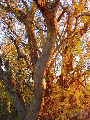 Photograph - Desert Ironwood Tree In The Golden Hour by Judy Kennedy