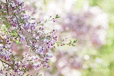 Photograph - Desert Ironwood Tree by Ruth Jolly