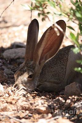 Desert Jackrabbit Photograph - Desert Jackrabbit by Carol Groenen