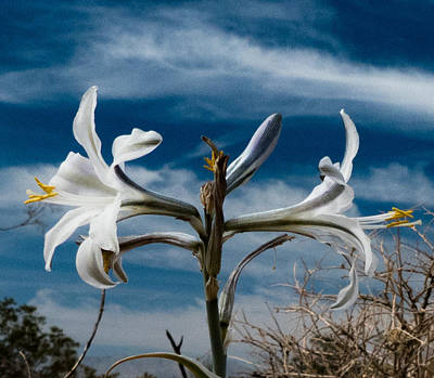 Photograph - Desert Lilly Close Up by Jeremy McKay