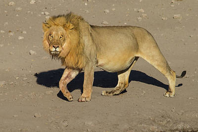 Photograph - Desert Lion by Randy Green