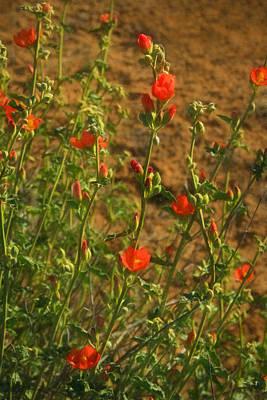 Photograph - Desert Mallow Blooms by Bonnie Follett
