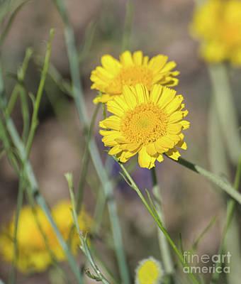 Photograph - Desert Marigold 8b9268l by Stephen Parker