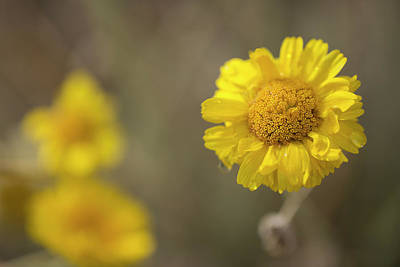 Photograph - Desert Marigolds by Sue Cullumber