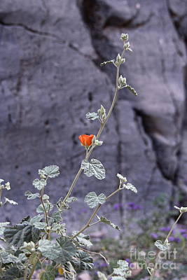 Photograph - Desert Orange by Suzanne Oesterling