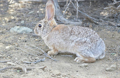 Photograph - Desert Rabbit  by Brent Dolliver