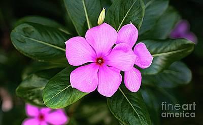 Digital Art - Desert Rose Asian Flower by Ian Gledhill