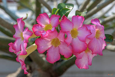 Photograph - Desert Rose Or Chuanchom Dthb2105 by Gerry Gantt