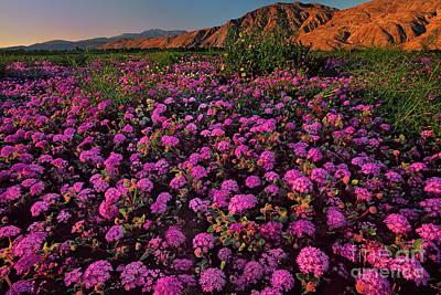 Photograph - Desert Sand Verbena Abronia Villosa Wild California by Dave Welling