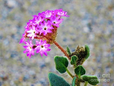 Photograph - Desert Sand Verbena by Michele Penner