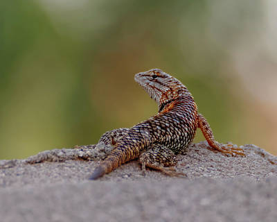 Photograph - Desert Spiny Lizard H1853 by Mark Myhaver