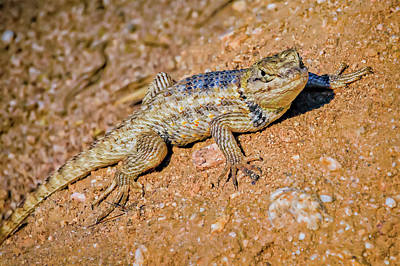 Mark Myhaver Rights Managed Images - Desert Spiny Lizard H57 Royalty-Free Image by Mark Myhaver