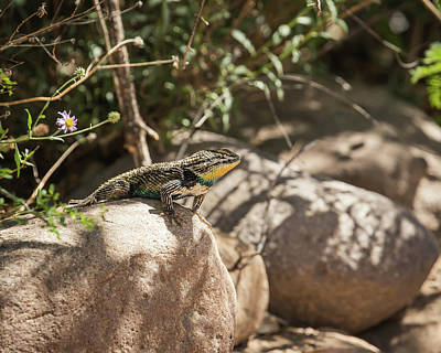 Photograph - Desert Spiny Lizard-img_725918 by Rosemary Woods-Desert Rose Images