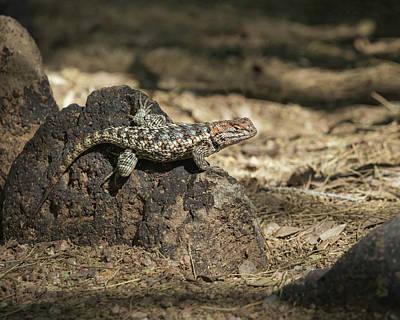 Photograph - Desert Spiny Lizard-img_823818 by Rosemary Woods-Desert Rose Images