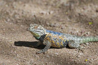 Photograph - Desert Spiny Lizard-img_824218 by Rosemary Woods-Desert Rose Images