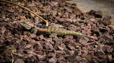 Mark Myhaver Royalty Free Images - Desert Spiny Lizard Royalty-Free Image by Mark Myhaver