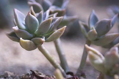 Photograph - Desert Succulent by Inter Mari