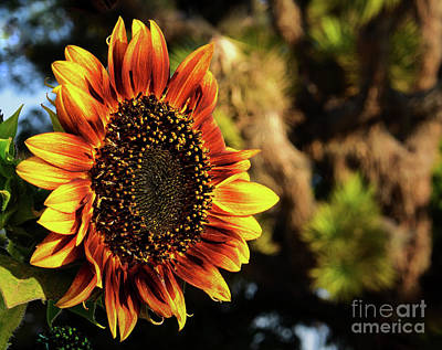 Photograph - Desert Sunflower by Angela J Wright