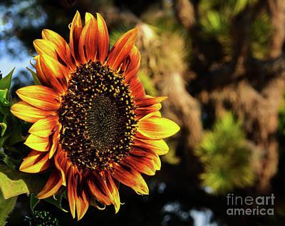 Photograph - Desert Sunflower by Angela J Wright