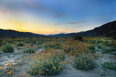 Desert Sunflower Sunset Art Print by Scott Cunningham