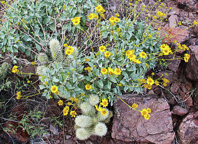 Photograph - Teddybear Cactus Bouquet by Lon Dittrick