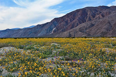 Photograph - Desert Sunflowers Anza Borrego by Kyle Hanson