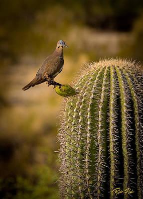 Photograph - Desert White Winged-dove  by Rikk Flohr