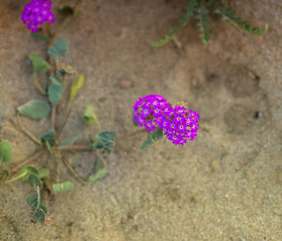 Photograph - Desert Wildflowers by Kunal Mehra