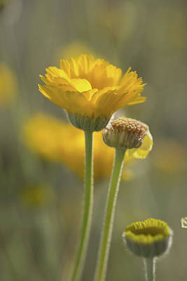 Photograph - Desert Yellow by Sue Cullumber