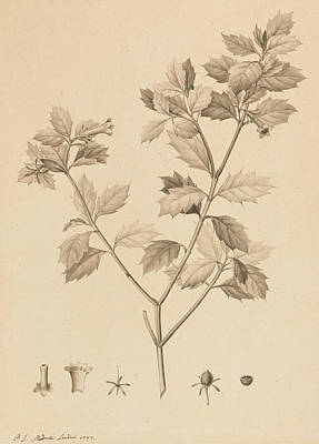 Vintage Antiques Sign Drawing - Desfonainia Spinosa by Pierre Joseph Redoute