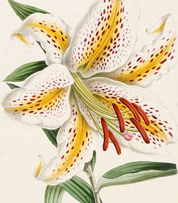 Lilies Drawing - Detail Of A Lily by James Andrews