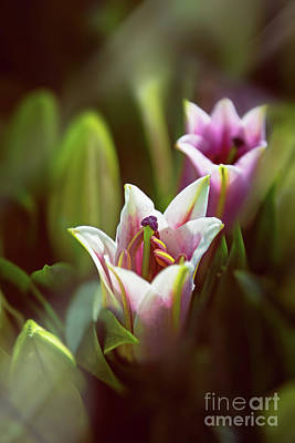 Detail Of Pink And White Oriental Lilies In Sunlight. Art Print