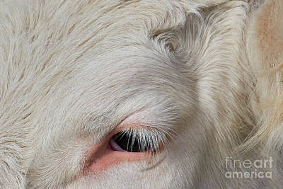 Photograph - Detail Of The Head Of A Cow by Nick Biemans