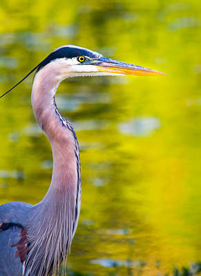 Blue Herron Photograph - Details Of A Great Blue Heron  by Parker Cunningham