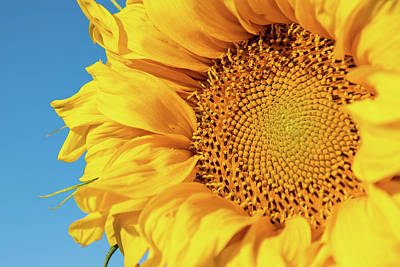 Photograph - Details Of A Sunflower by Tony Hake