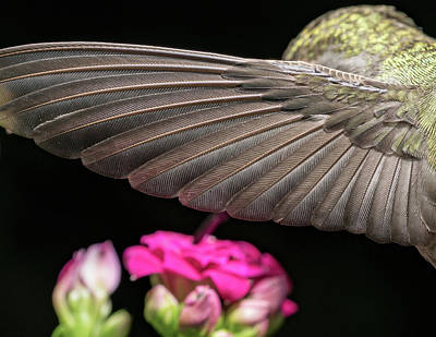 Photograph - Details Of The Hummingbird Wing by William Lee