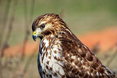 Photograph - Determination Red Shouldered Hawk Art by Reid Callaway
