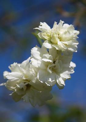 Photograph - Deutzia Cream Petals Against Blue Sky by Taiche Acrylic Art